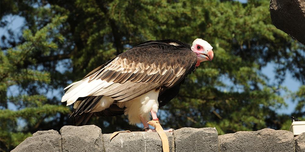 avvoltoio slide